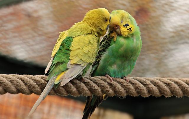 влюбленные попугайчики