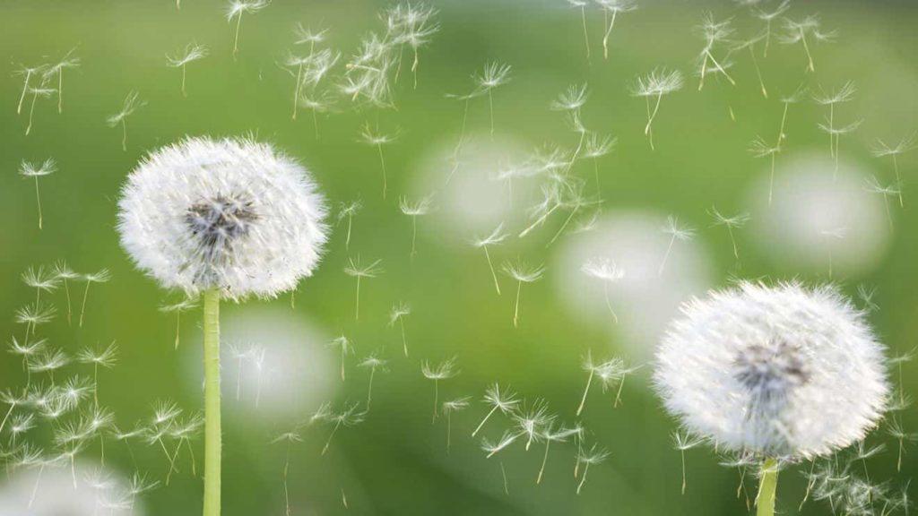 Аллергия на одуванчики: как справиться с обострением аллергологического заболевания в период цветения растения?