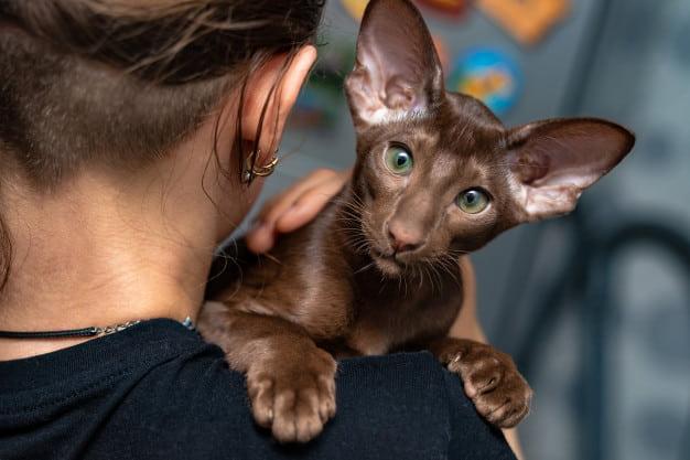 Гипоаллергенные кошки миф или реальность?