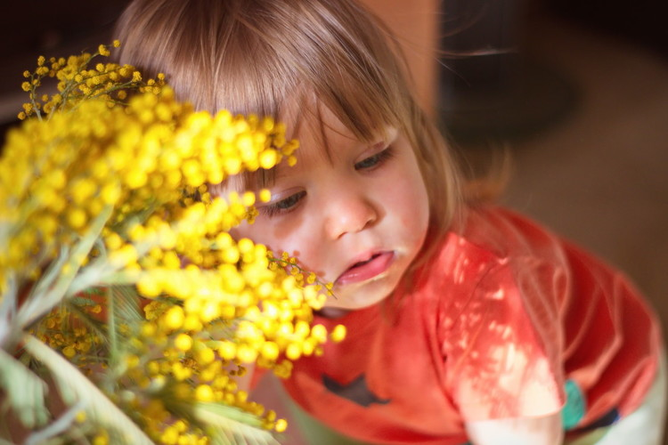 Может ли мимоза стать причиной возникновения аллергической реакции?