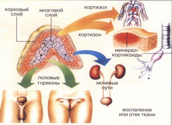 Что такое аденома надпочечников, как она проявляется и лечится?