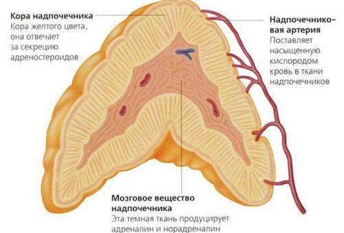 Что такое гиперплазия надпочечников, как проявляется и лечится?