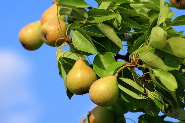 сладкий плод