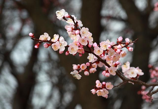 абрикосовое дерево в цвету