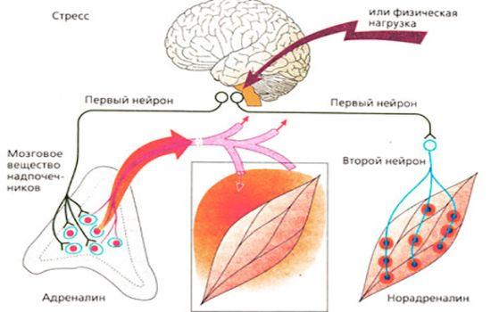 Что такое адреналин как он воздействует на организм?